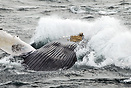 Humpback whale (Megaptera novaeangliae) breaching in the Stellwagen Ba...
