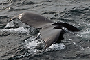 Humpback whale (Megaptera novaeangliae) showing it´s tail fluke ...
