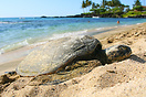 A green sea turtle resting on the sands of a Kona beach