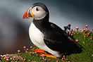 An Atlantic Puffin (Fratercula Arctica) on the cliffs at the north end...
